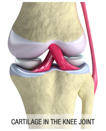 Cartilage in Your Knee